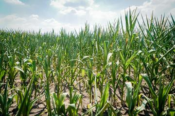 Trockenheit - Dürre, verkümmerte Maispflanzen auf staubtrockenem Acker
