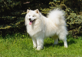Samoyed looks aside. The Samoyed stands on the green grass in the city park.