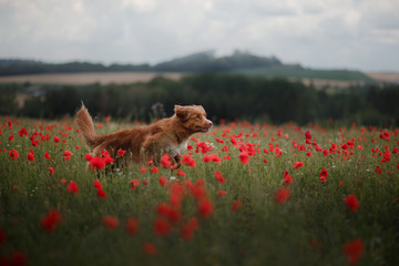 dog in the field of poppies. Nova Scotia Duck Tolling Retriever, Toller. Pet on vacation