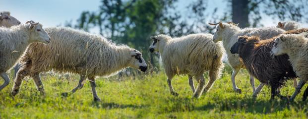 a sheep herd closeup on a meadow