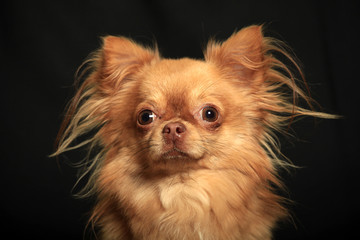Portrait of a Chihuahua dog on a black background
