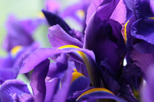 Purple delicate iris flowers