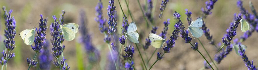 white butterfly on lavender flowers macro photo