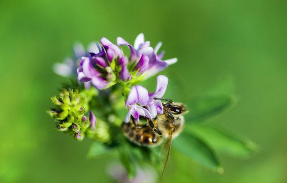 abeille sur fleur de luzerne