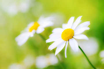 White camomiles daisy flowers  on green meadow Wall mural