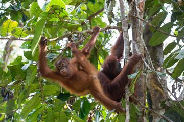 Orangutan cub playing on the tree branch