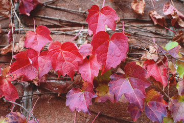 Red ivy leaves on brick wall at autumn. Season changing beautiful background.