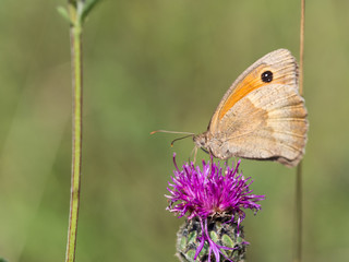 The meadow brown (Maniola jurtina) butterfly sitting on a  flower