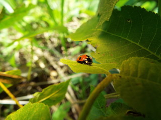 ナナホシテントウ lady bug