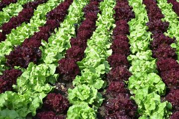 Salades au jardin en été