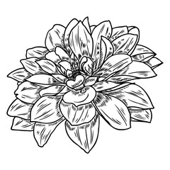 Dahlia or zinnia flower drawing, sketch of black line art on white background. Vector.