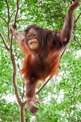 orangutan cute on tree