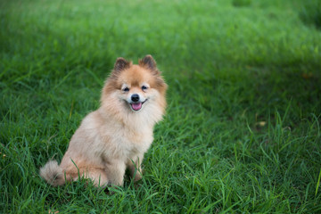 Pomeranian dog smiling at meadow