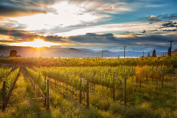 Wall Murals Vineyard Sunset at Okanagan Lake near Penticton with a vineyard in the foreground, British Columbia, Canada