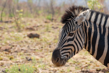 Zebra portrait with gras culm in mouth