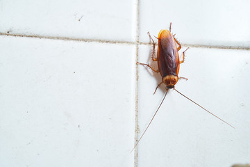 Cockroach crawling on white tile wall