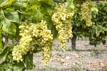 Grapes Vineyard (Turkey Izmir vineyards)