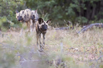 Pack of African wild dogs hunting for food in the bush