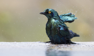 Cape Glossy Starling bathe in shallow water pool on a hot day