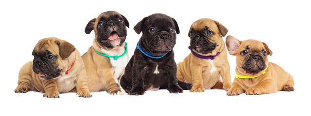 Poster Franse bulldog litter of puppies, French bulldog