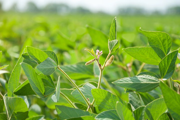 Soy flowers and pods on soy plant