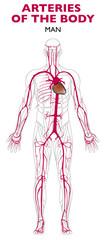 Arterie nel corpo umano, anatomia. Le arterie sono vasi sanguigni (arterie, arteriole e capillari arteriosi) che nascono dai ventricoli: portano il sangue ricco di ossigeno lontano dal cuore