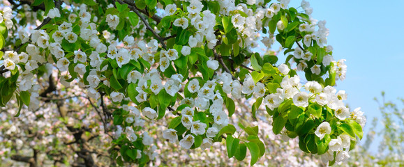 Flowering branch of pear blooming spring garden. Wide photo.