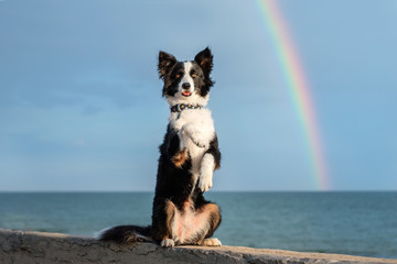 border collie dog  playing on the beach rainbow sky