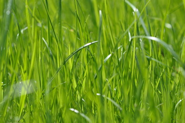 Summer fresh bright green grass. Spring background with a green lawn for design, wallpaper, desktop. Macro of green grass in a defocus at a close distance. Blurred background, bokeh. Photo of grass