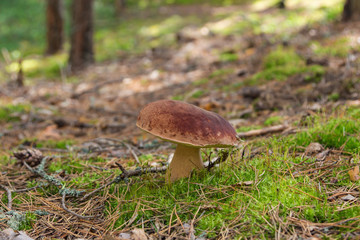 Fall mushroom in the forest on the moss. Russian nature. Kostroma region.