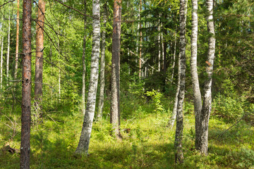 Summer birch and pine forest