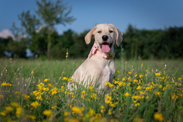 Puppy with a bow tie on the flowery meadow