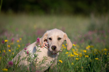 Cute Puppy on the flowery meadow