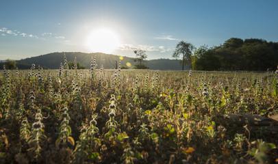 Field of wildflowers in summer, backlit by rising sun