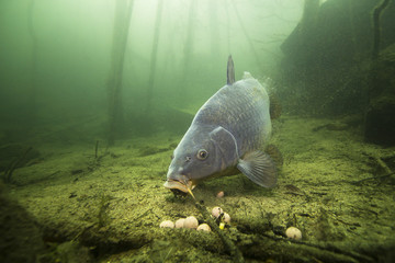 Freshwater fish carp (Cyprinus carpio) feeding with boilie in the beautiful clean pound. Underwater shot in the lake. Wild life animal. Carp in the nature habitat with nice background. Wall mural