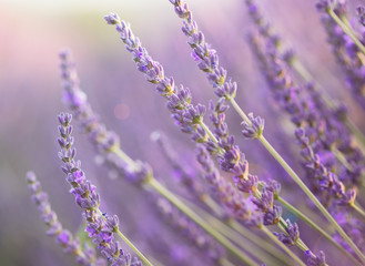 Close up of lavender at sunset with lens flare