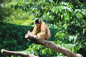 Gibbon Singapore