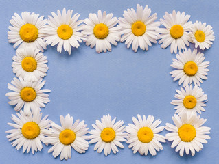 Natural flowers frame. White chamomile on blue paper background. Copy space, top view.