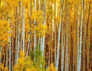 Colorado Gold- Aspen Boles in Warm Autumn Light
