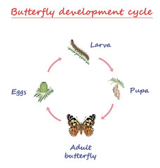 Butterfly development  round cycle isolated on white background. Eggs, larva, pupa and adult butterfly in born progress. education vector illustration.