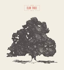 High detail vintage elm tree drawn, vector