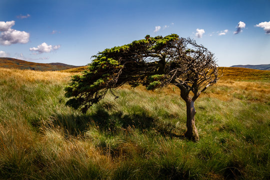 Amazing tree bent by the wind in a field with green and yellow grass.