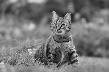 Beautiful tabby cat sitting  in the grass . Felis silvestris. Monochrome photo