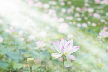 ハスの花畑