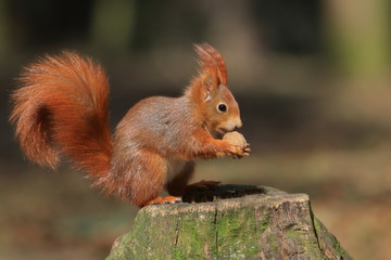 Art view on wild nature. Cute red squirrel with long pointed ears in autumn scene . Wildlife in November forest. Squirrel sitting on the stump with a nut.