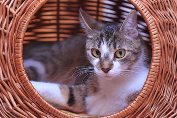 Funny colorful domestic cat with big eyes lying in a basket. Felis sivestris.