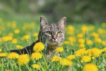 Beautiful tabby cat lying in the blooming meadow.