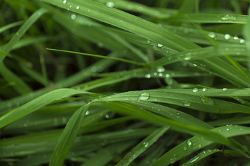 Closeup fresh green grass with dew drops. Macro blur background.