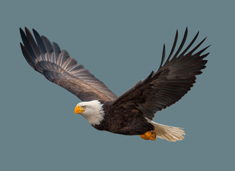 The bald eagle in flight.