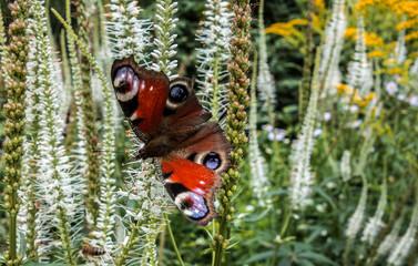 Peacock eye butterfly on meadow flowers